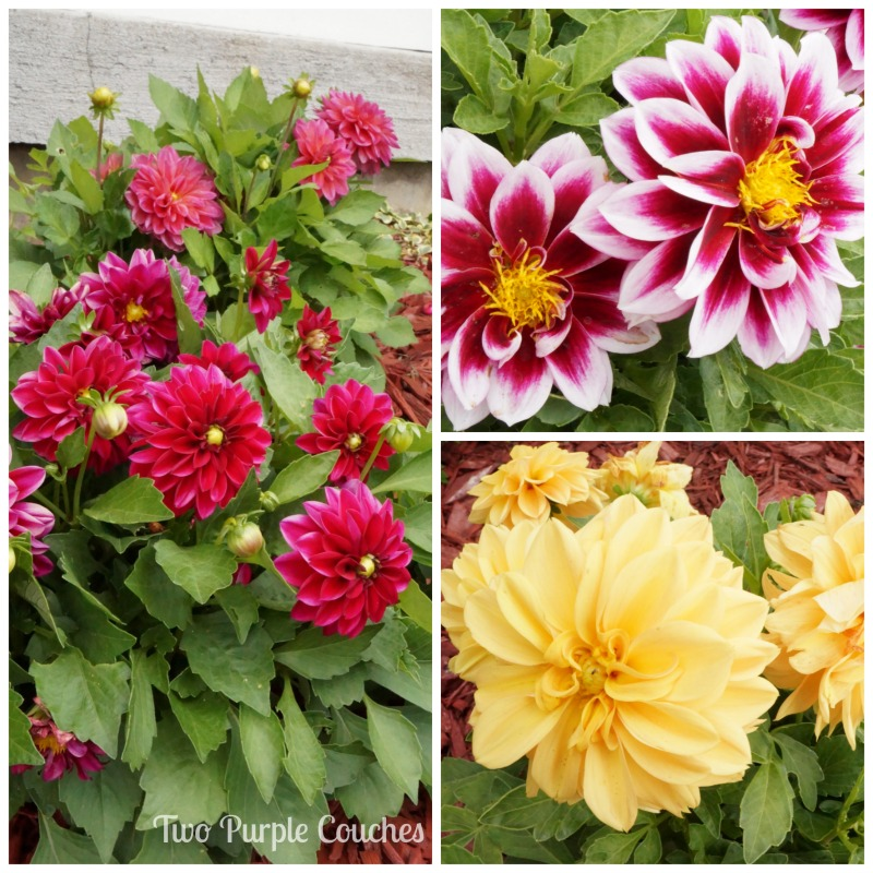 A sea of colorful dahlias on this summer Garden Tour by Two Purple Couches #gardening #dahlias #gardentour
