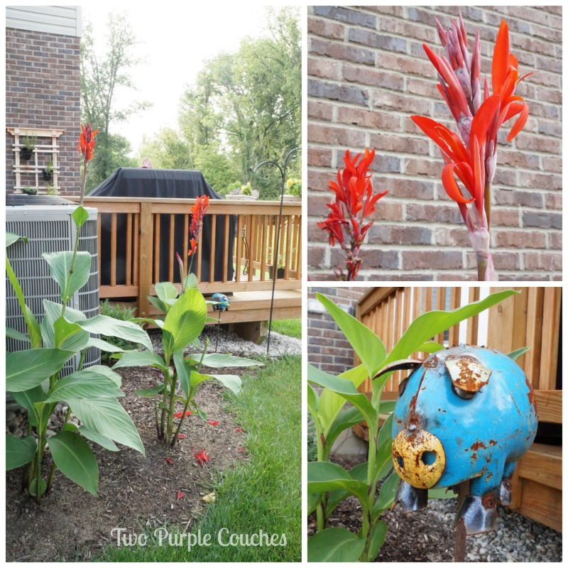 Plant cannas for a tropical feel. #gardening #summergarden #cannas