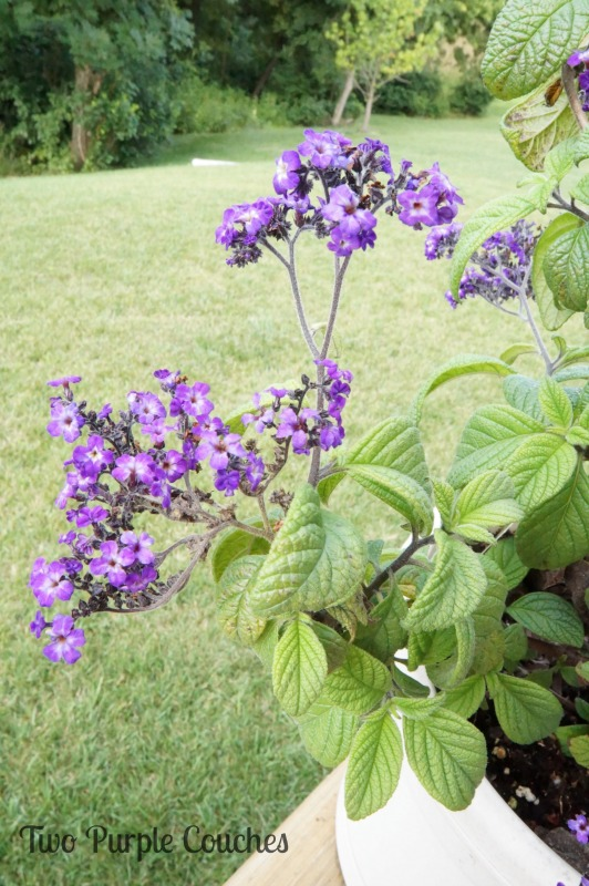 Attract hummingbirds and butterflies to your garden with heliotrope. #gardening #gardentour #butterflygarden