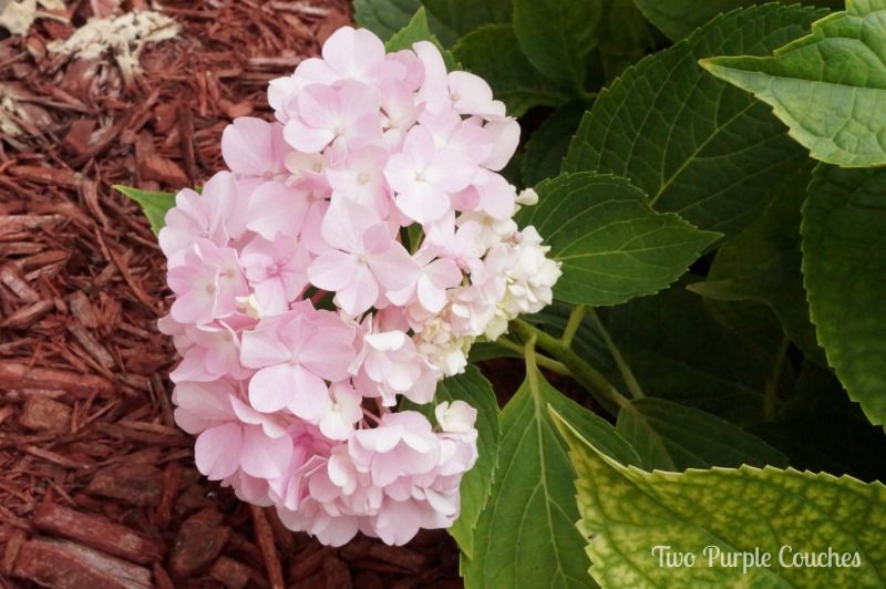 Hydrangeas are great additions to cutting gardens. #gardening #hydrangea #summergarden