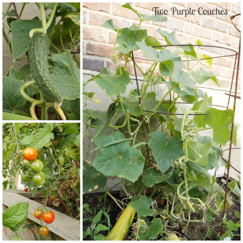 Plant vegetables like tomatoes and cucumber in a raised bed. #gardening #vegetablegardening