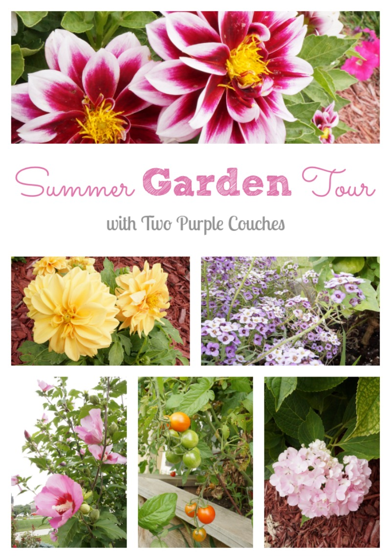A bright and colorful garden tour awaits at Two Purple Couches #gardening #gardentour #dahlia #hydrangea #vegetablegardening