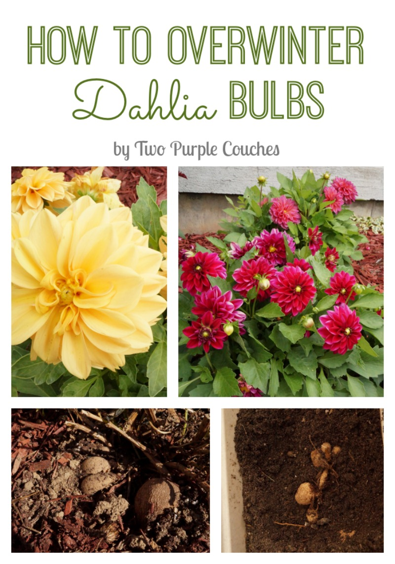 How to overwinter dahlia bulbs