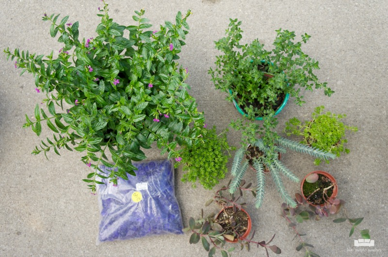 Plants and herbs for a fairy garden