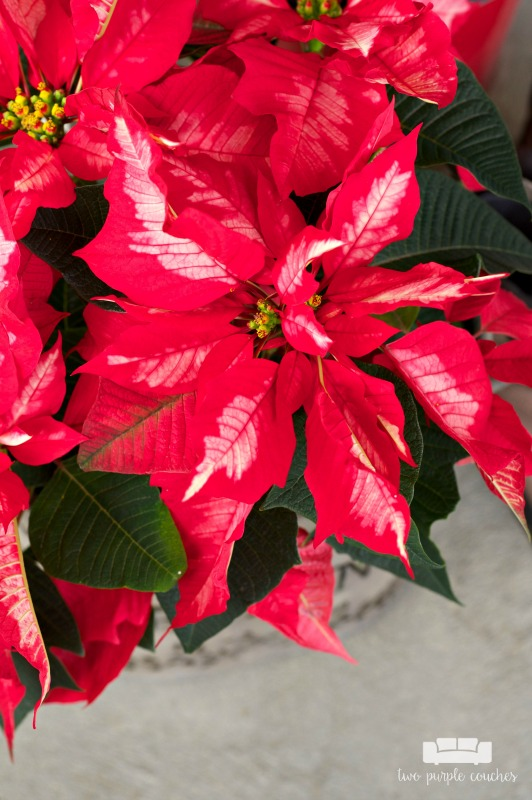 Beautiful poinsettia on display on this holiday porch!